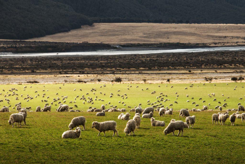 草原に羊が放し飼いにされている画像